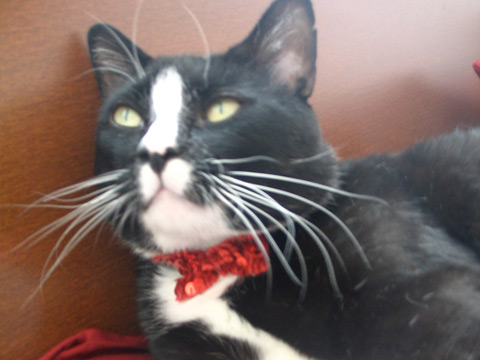 Sequined Bowtie for a Cat